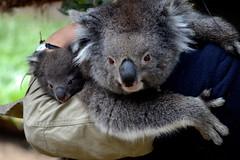 Cuddlesome Koalas
