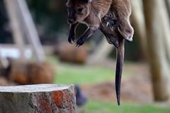 Jumping Joey