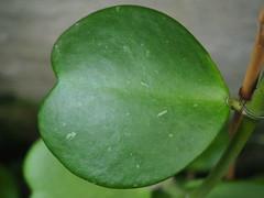 Hoya kerrii hjärtporslinsblomma - Thailand, Laos - 2012-0657*A_P6260172