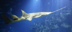 The Deep - Hull's Submarium - Sword Shark
