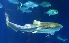 The Deep - Hull's Submarium- Zebra Shark