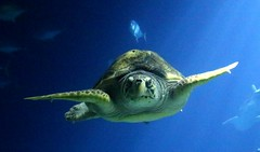 The Deep - Hull's Submarium - Giant Turtle