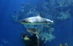 The Deep - Hull's Submarium - Reef Shark