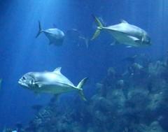 The Deep - Hull's Submarium - Grouper