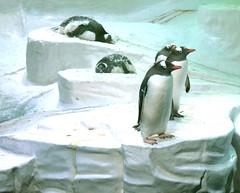 "The Deep - Hull's Submarium- ""Grytviken"" Gentou Penguins"