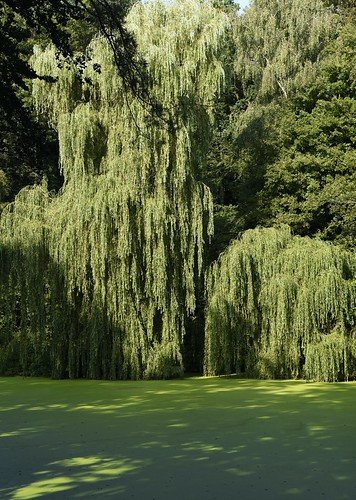 Am Trauerweidenteich (Salix×sepulcralis); Holbek, Nordfriesland (6)