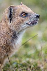 Mongoose finishing to eat the cricket