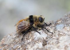 Reh-Rachendassel (Cephenemyia stimulator), Mont Lozère, Cévennes, France