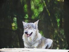 Wolf mit geschlossenen Augen | 29. Juli 2018 | Schleswig-Holstein - Deutschland