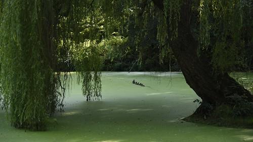 Unter der Trauerweide (Salix×sepulcralis); Holbek, Nordfriesland (14)