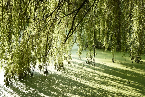 Unter der Trauerweide (Salix×sepulcralis); Holbek, Nordfriesland (10)