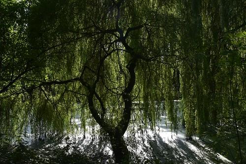 Unter der Trauerweide (Salix×sepulcralis); Holbek, Nordfriesland (2)