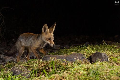 Raposa, Red Fox (Vulpes vulpe