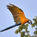 Blue-and-Yellow Macaw (Ara ararauna) 藍黃金剛鸚鵡