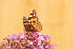 wild garden -butterfly