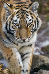 A young tigress coming...
