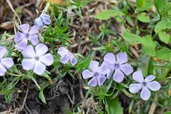 Delicate mauve mountain wildflowers