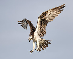 Osprey Landing Talons at the Ready