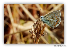 """In """"Explore"""" Common Blue Polyommatus icarus (po-lee-oh-MAY-tuss IK-uh-russ)"""