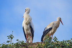 Two storks on the nest