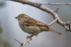 A sparrow on the branch
