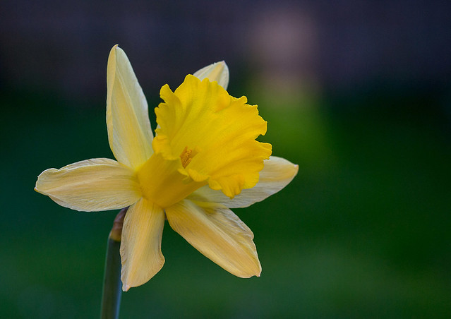 Yellow Daffy
