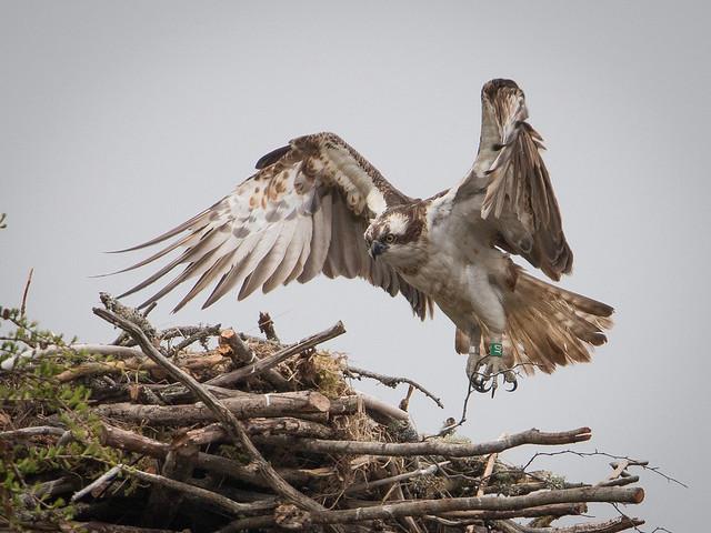 memb08_osprey
