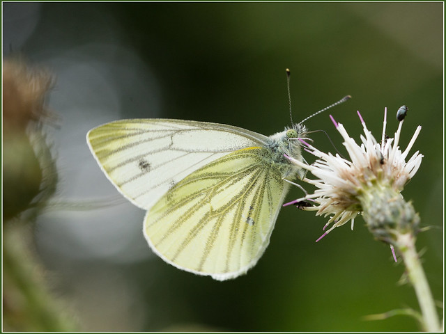 Green veined white butterfly_29