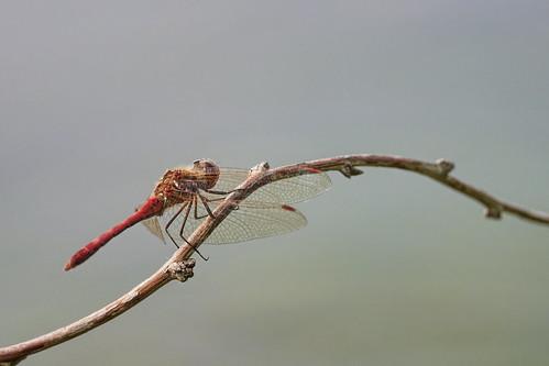 Blutrote Heidelibelle - Ruddy Darter - Sympetrum sanguineum - 2