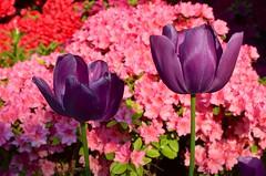 Azaleas & Tulips