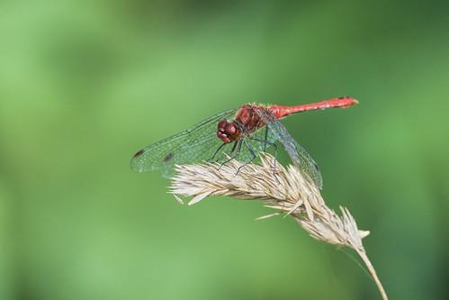 Blutrote Heidelibelle - Ruddy Darter - Sympetrum sanguineum - 1