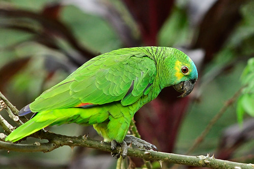 Turquoise-fronted Parrot with the