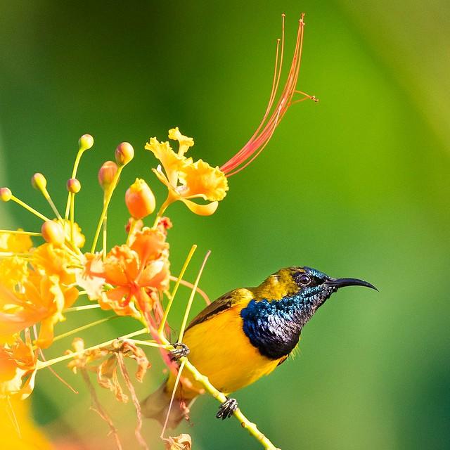 Olive-backed Sunbird on Borneo