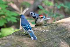 Red-Bellied Woodpecker Takes the Peanut ~ Melanerpes carolinus ~ Huron River and Watershed