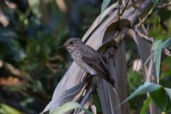 First Flycatcher