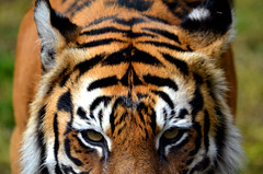 Maneki the Sumatran Tiger