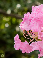 la délicatesse du lilas des Indes