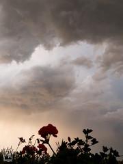 géraniums sous l'orage