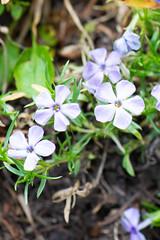 Tiny mauve mountain wildflowers