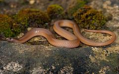 Flathead Snake (Tantilla gracilis)