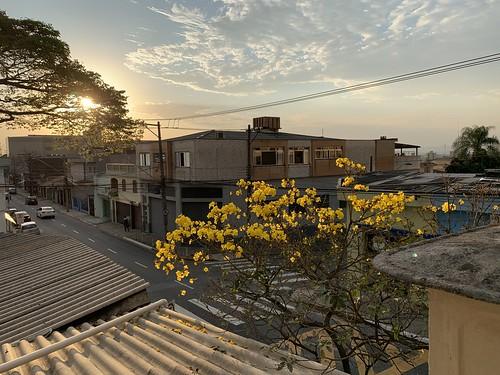 The (my baby) Yellow Trumpet Tree, São Caetano do Sul, SP,  Brazil.