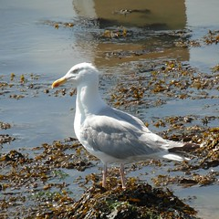 Birds - Gulls