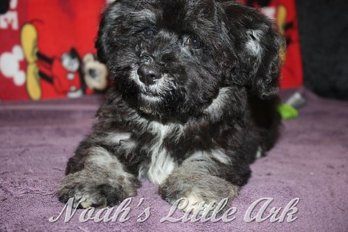 Available AKC Registered Havanese Puppies | Noahs Little Ark