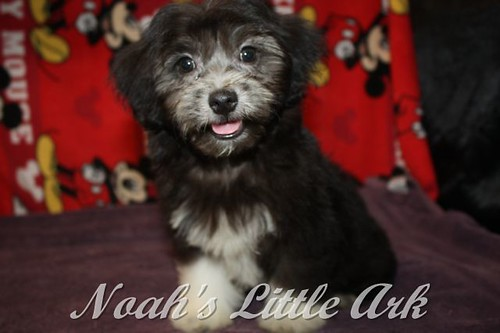 Available AKC Registered Havanese Puppies   Noahs Little Ark