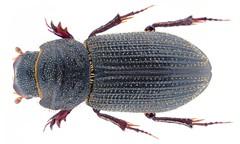 Neotrichiorhyssemus malabaricus (Balthasar, 1963)