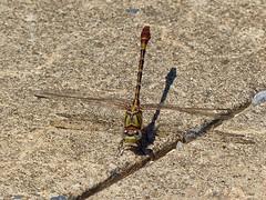 Eastern Ringtail (Erpetogomphus designatus)