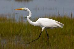 Egret stalks