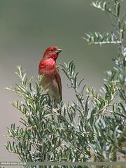 Common Rosefinch (Carpodacus erythrinus)