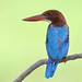 White-throated Kingfisher (Halcyon smyrnensis) 白胸翡翠