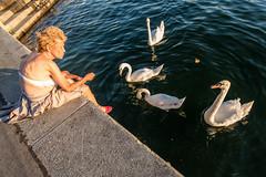 Old lady feeding swans in Vienna